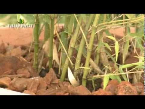 Les 132 meilleures images du tableau truffaut plantes d - Comment planter du bambou ...