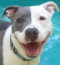 Valerie - American Staffordshire Terrier