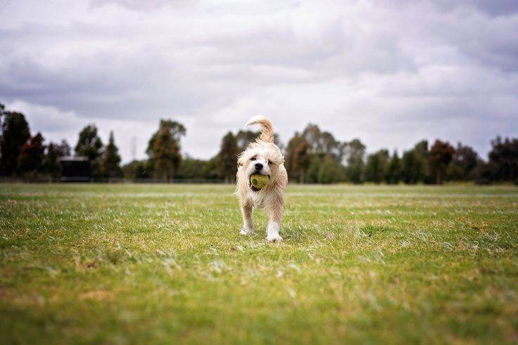 Dog Playing with his Ball - Terrier Mix - Yarra Valley Dog Photographer - Melbourne, Australia