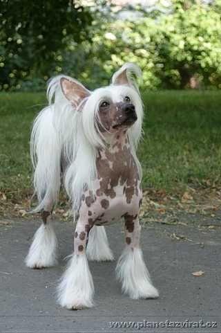Chinese crested dog | DOG, CAT & HORSE: Chinese crested dog