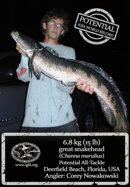 IGFA | World Record News- Angler Corey Nowakowski has potentially broken the All-Tackle world record for great snakehead (Channa marulius), again. Nowakowski landed this huge 6.8 kg (15 lb) snakehead while casting an artificial crawfish in a canal near Deerfield Beach, Florida, USA on May 21st. Once hooked, Nowakowski needed only a few minutes to drag the hard-fighting snakehead to shore. If approved, Nowakowski will replace his own All-Tackle world record of 6.35 kg (14 lb), that he caught…