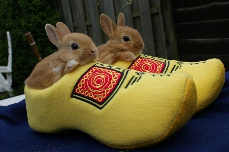 Nederlandse konijnen