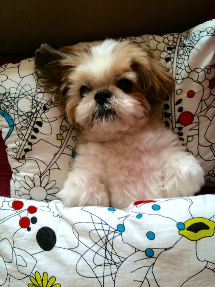 best shoo for shih tzu 73 best shih tzu grooming oscar images on pinterest shih 1027