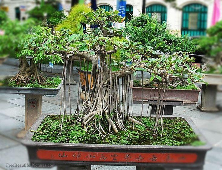 Peste 25 Din Cele Mai Bune Idei Despre Ginseng Bonsai Pe Pinterest ... Ficus Ginseng Bonsai Einpflanzen Tipps
