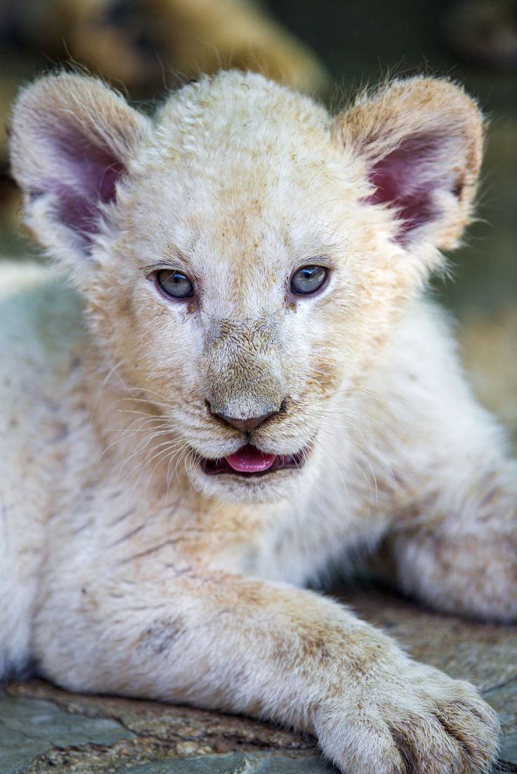 cute baby white lions - photo #18