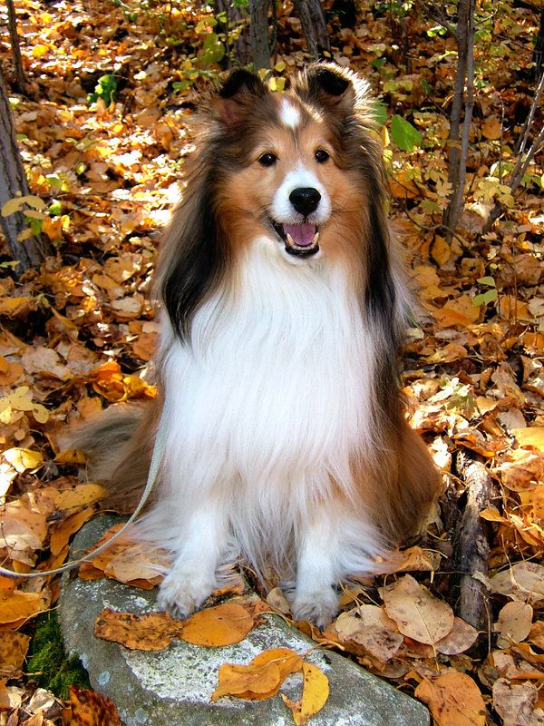 Sable Autumn Sheltie by KrystalJ on deviantART