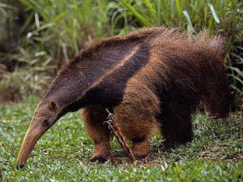 Oso hormiguero. Esteros del Ibera, Argentina