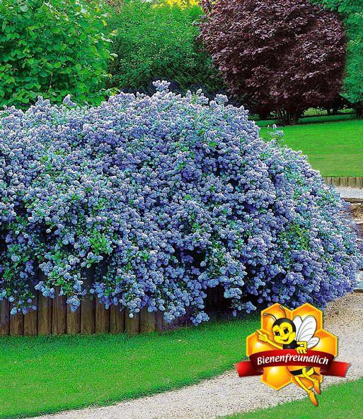 Ceanothus Blue Fashion 1a Pflanzen Baldur Garten In 2020 Ziergeholze Heckenpflanzen