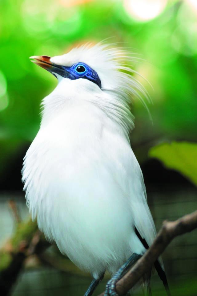 29 best images about Bali Myna bird (Leucopsar rothschildi ... - photo#35