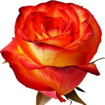 High Magic is the name of this colombian rose - one of our all time favourites, but particulary in autumn season !