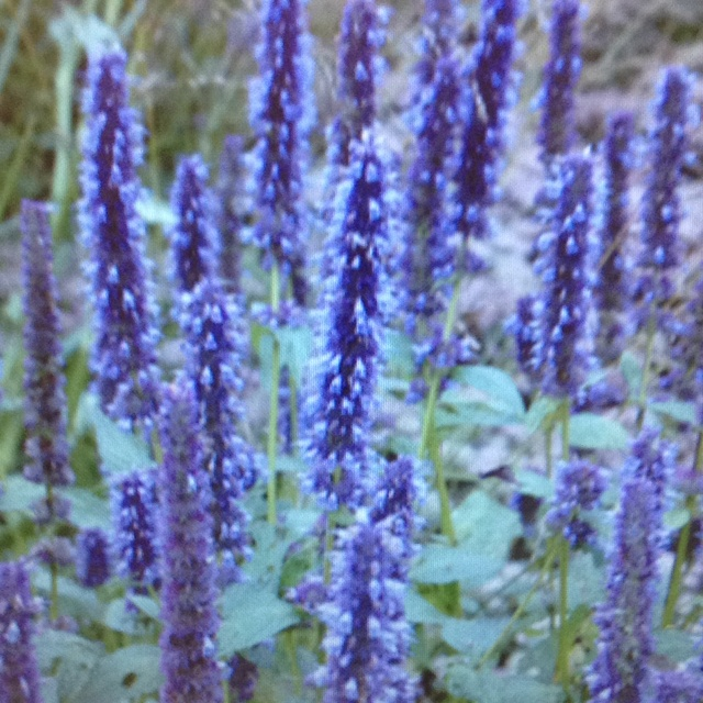 giant hyssop blue fortune - photo #12