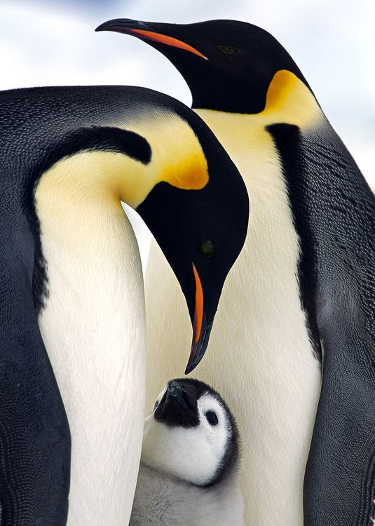 Emperor penguins breed during the Antartctic winter, forming colonies of thousands on the open sea ice.