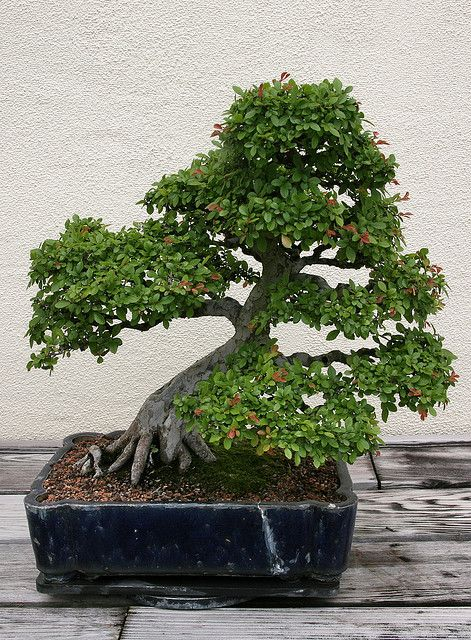 RK:Chinese Elm (Ulmus parvifolia)   Flickr - Photo Sharing!