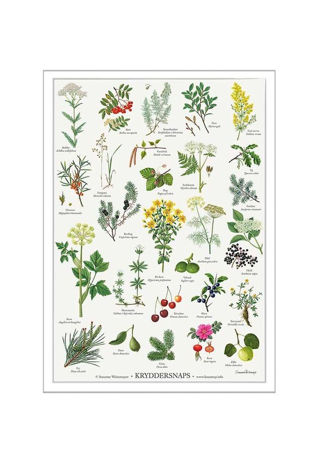Botanical and decorative illustration by Koustrup & Co.