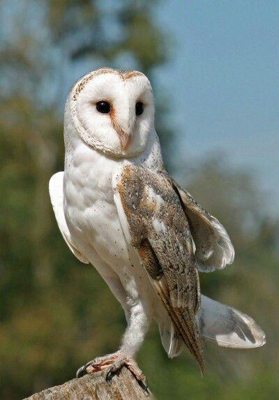 28 Best White Owl Images On Pinterest White Owls Skulls And Animation