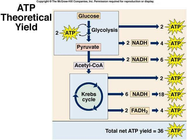 ATP Theoretical Yeild - krebs cycle
