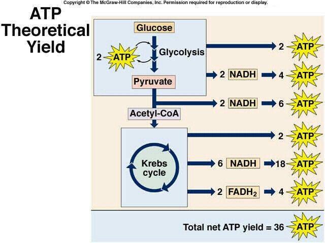 ATP Theoretical Yeild - krebs cycle