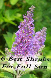 6 Best Shrubs For Full Sun found on HomemadeByJaci.com
