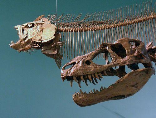 "Bad Boys ""of the Cretaceous.  Gorgosaurus libratus, ""fierce lizard"", a tryannosaurid dinosaur from 75 million years ago and replica of a specimen from southwestern Alberta.  Xiphactinas audax, ""sword ray"" fish from 85 million years ago and replica of of a specimen from northwestern Kansas. This predator also found in southwestern Manitoba""."