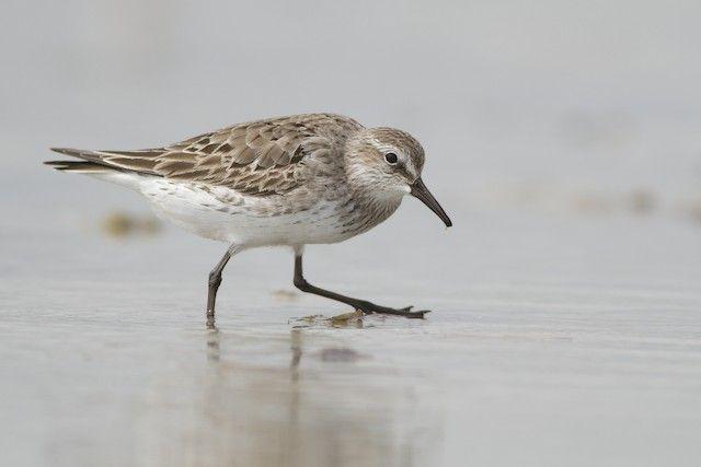 White-rumped Sandpiper - Multimedia | Birds of North America Online