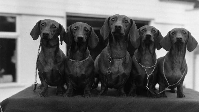 Five red smooth-haired dachshunds at Crufts, Jan. 29, 1971. (Victor Drees/Evening Standard/Getty Images)