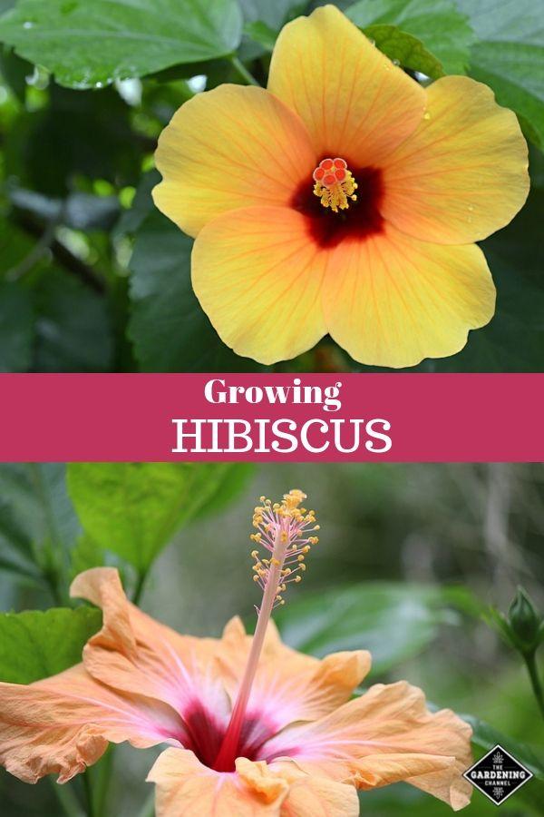 How To Grow Hibiscus Hibiscus Plant Growing Hibiscus Hibiscus