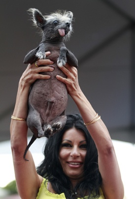 """Suzanne Marta holds up her Chinese crested dog, Handsome Hector, during at the World's Ugliest Dog contest during the Sonoma-Marin Fair in Petaluma, Calif., on Friday, June 22, 2012.     """"Mugly"""" wins World's Ugliest Dog title    Credit: AP Photo/The Press Democrat, Beth Schlanker"""