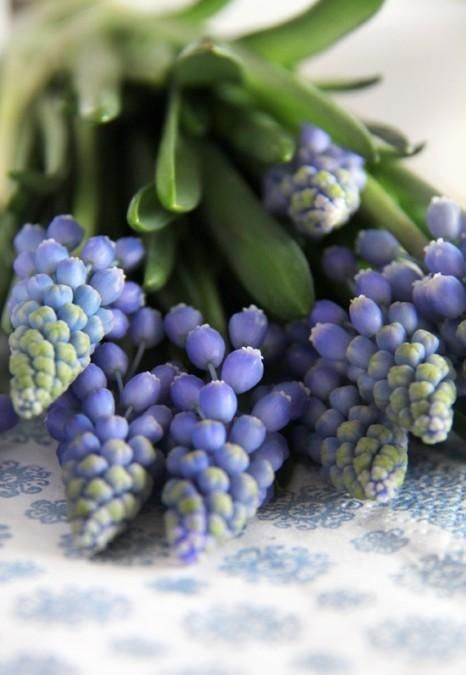 Grape Hyacinth - Smell so good and always remind me of mom! She grew them along side the house.