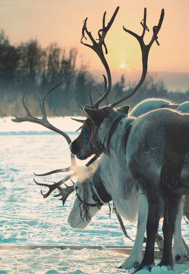 On ho-ho-holiday with Santa. Finnland, Deers.