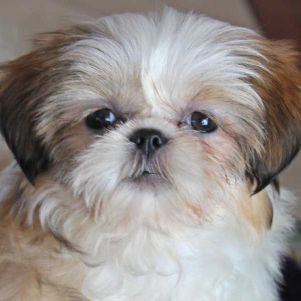 Shih Tzu Puppy For Sale In South Florida Shihtzu Shih Tzu Puppy Shih Tzu Shih Tzu Funny