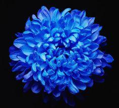 Fresh chrysanthemum stock photo