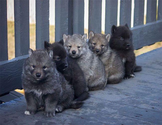 husky-lobo