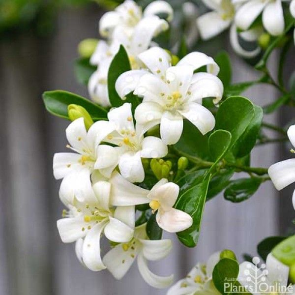 Murraya - mock orange