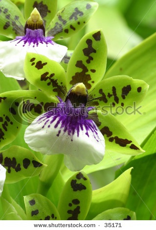A beautiful green/purple orchid