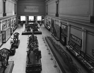 "c. 1930 View of the Vertebrate Paleontology Hall, also known as Dinosaur Hall, in the United States National Museum's (USNM) Natural History Building (NHB), now the National Museum of Natural History (NMNH). At the time of this picture the exhibit of fossil animals was called the ""Hall of Extinct Monsters"". Several dinosaur skeletons and other fossil animals are on exhibit and a mural of ""Diana of the Tides"" can be seen on the rear wall."