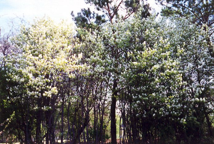 Saskatoon (Amelanchier alnifolia) at Connon Nurseries CBV