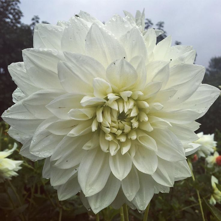 A moon-like dahlia in the Walled Garden. It's got us thinking if there is a record for the biggest dahlia flower... #houghtonlodgegardens #dahlia #hampshiregardens #gardens #flowers #flowerstagram #white #englishgarden