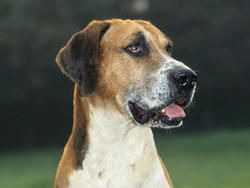 Chien Foxhound anglais