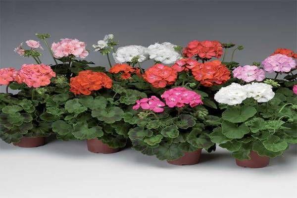 A szobanövényeink csak a megfelelő gondoskodás mellett lesznek szépek, különben egy idő után elveszítik leveleiket, elsárgulnak, és virágozni sem fognak.