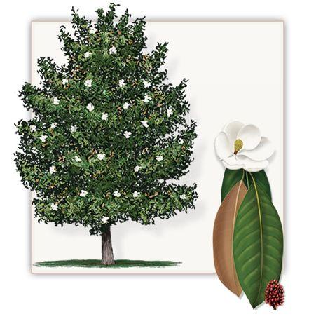 DD Blanchard Magnolia