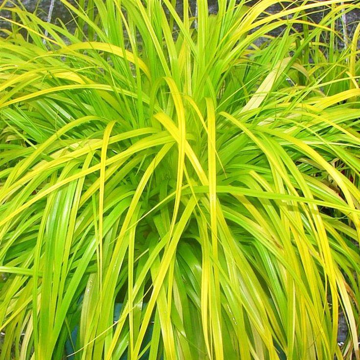 Carex oshimensis 'Everillo' - Zegge kopen | Maréchal
