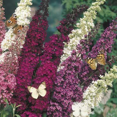 Best 25 butterfly bush ideas on pinterest bee balm - Butterfly and hummingbird garden designs ...