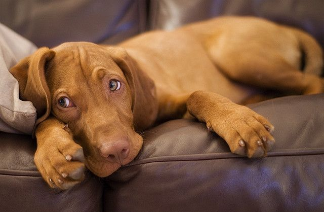 This is a vizsla pup.  I found a Weimaraner vizsla mix puppy and I'm positively dying to have it!
