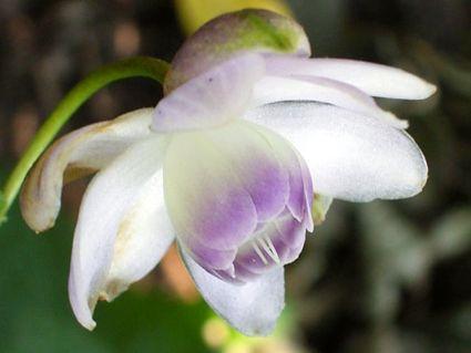 anemonopsis_macrophylla.jpg (425×319)