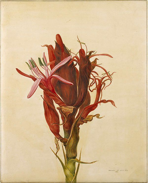John Lewin Botanical Artist Painting
