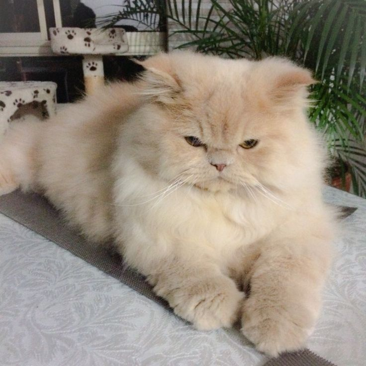 Exotic Shorthair Cats Best Brush