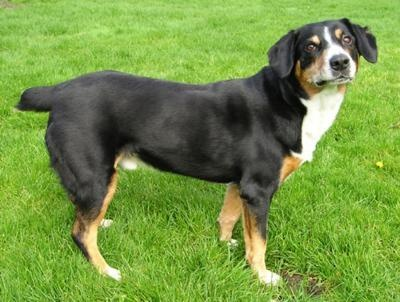 Entelbucher Mountain Dog-We knew Duke was a Corgi mix, but didn't know what other breed. I think now we know
