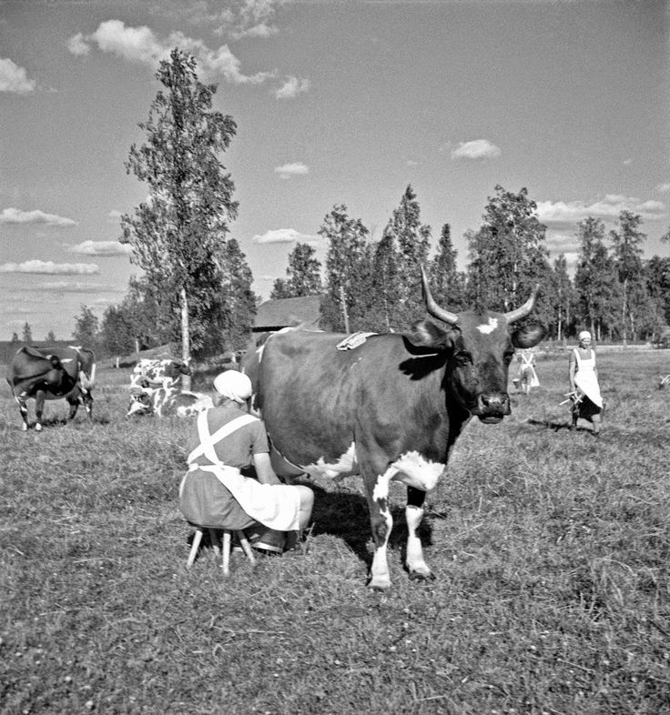 Black and White Photos of Daily Life in Finland in 1941 - Finnish cows