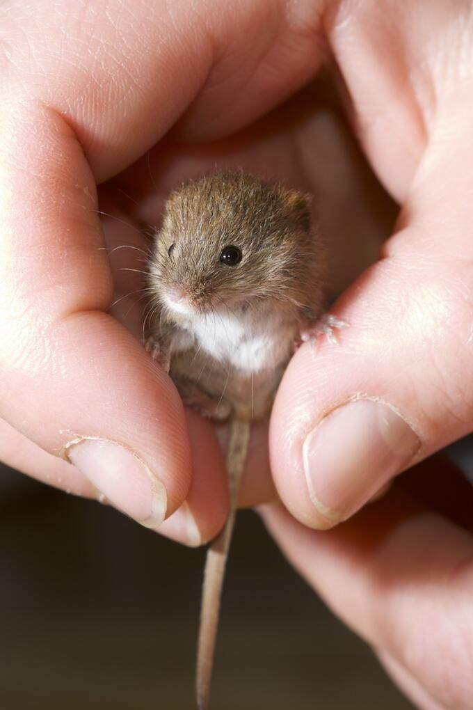baby harvest mouse, recently saved one from my cat and I'm now keeping until he or she can walk properly, there name is pip