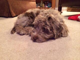 Finley as a puppy